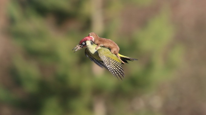 woodpecker-weasel.jpg