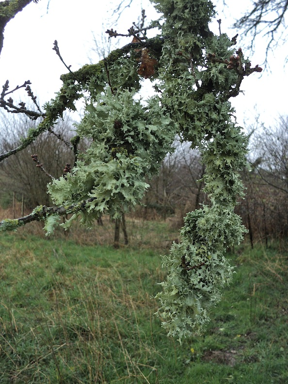 Lichens marqueurs de pollution : air pur probable ici!