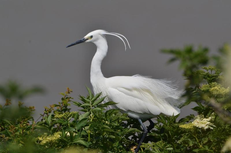 aigrette garzette (photo P. Dadu).JPG