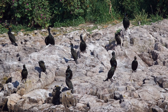 Cormorans huppés sur IT.jpeg