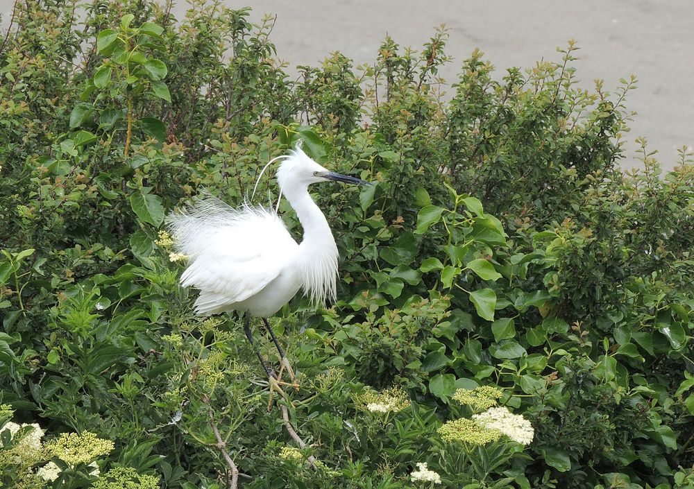 aigrette garzette photo T Grandguillot.JPG