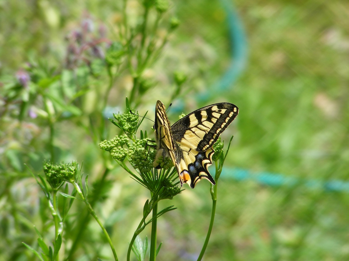 machaon, ponte.JPG